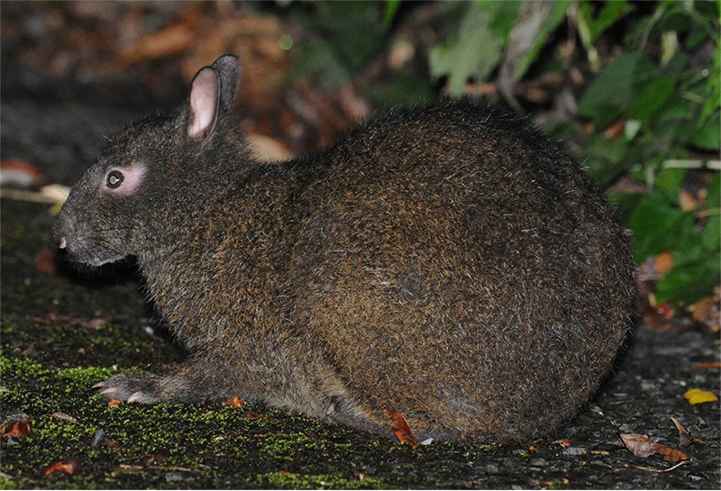 奄美大島のクロウサギ