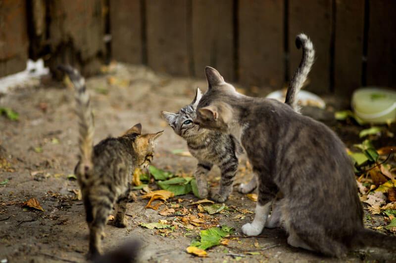 奄美大島では野良猫やノネコがクロウサギの天敵になっている